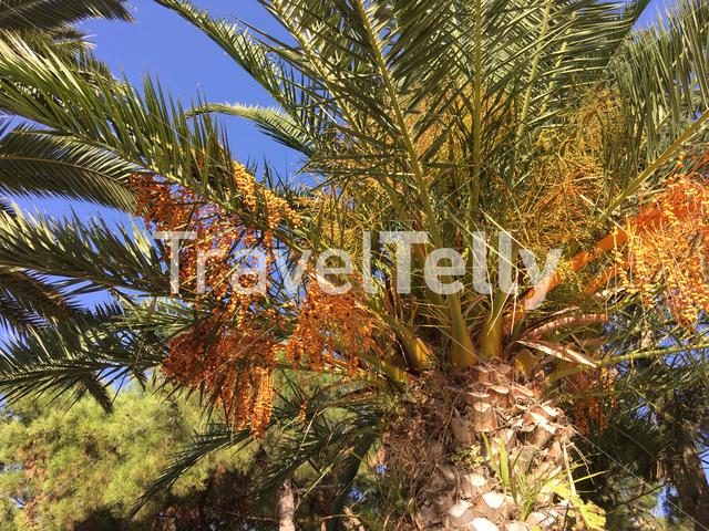 Palm tree fruit in Nea Fokea Greece