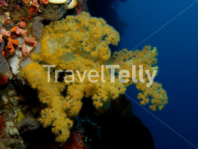 Soft coral in Bunaken National Marine Park Indonesia