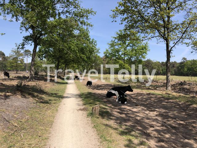 Cows laying in the shade of natural reserve Lankheet in Overijssel The Netherlands