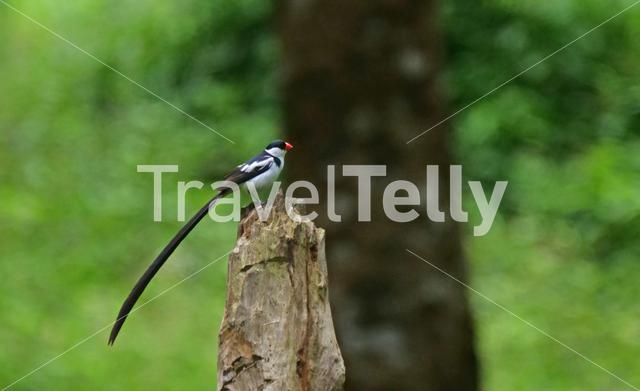 Pin-tailed whydah on a tree trunk