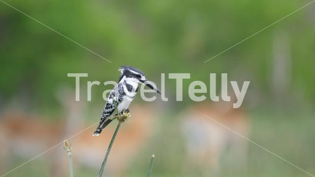Pied kingfisher on reed