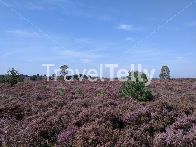 Flowering Heather at the National Park Sallandse Heuvelrug in The Netherlands