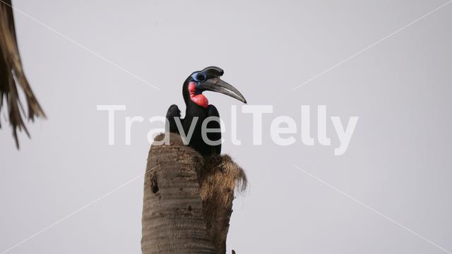 Abyssinian ground hornbill in a tree in Senegal, Africa
