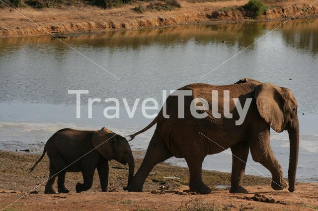 Baby elephant near a waterpool in South Africa