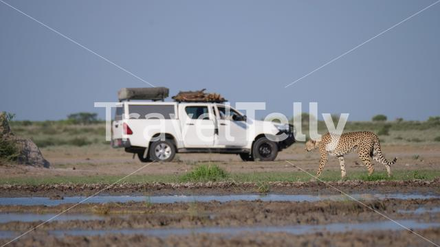 Tourist photographing a Cheetah at Central Kalahari Game Reserve in Botswana