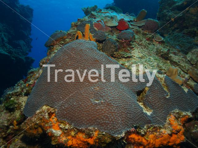 Hard coral in the Mesoamerican Reef Mexico