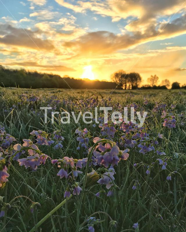 Photo of cuckoo flowers in a field during morning sunrise