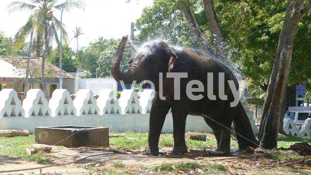 Elephant with a chain at a tree splashing water at the Dondra temple in Sri Lanka