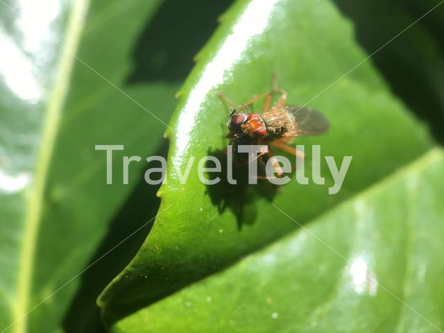 Common fruit fly killing a fly on a leaf in The Netherlands