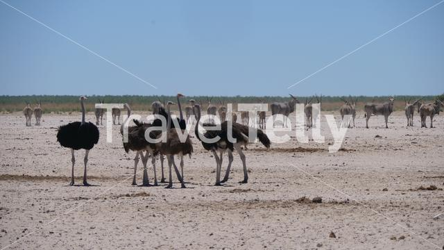 Group of ostrich on a dry savanna in Etosha National Park, Namibia