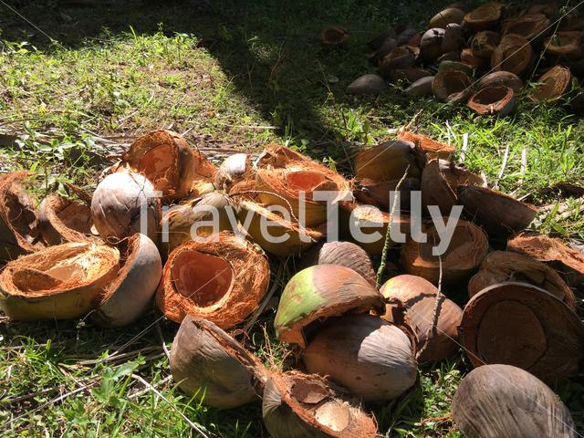 Empty coconuts in Anda Bohol the Philippines