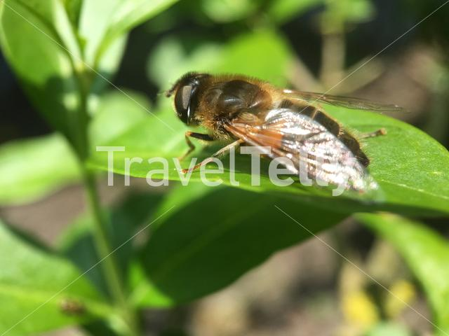 Bee on a leaf in The Netherlands