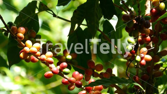 Growing Coffee Beans at Mombacho Volcano Nature Reserve