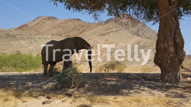 Elephant under a tree at Hoanib riverbed in Nambia