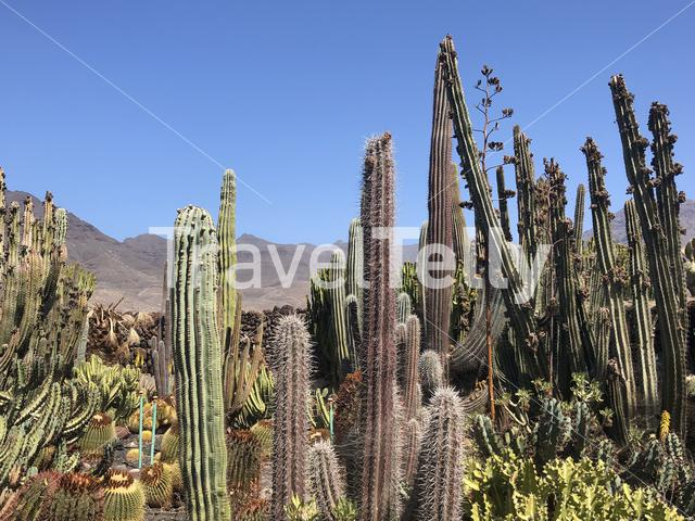 Cactus garden at the restaurant La Ganania in La Hoyilla, Gran Canaria