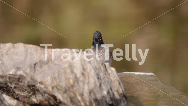 African Red-eyed Bulbul looking in to the camera