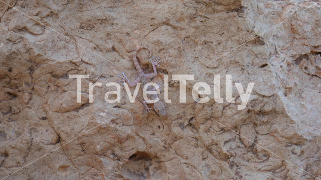 Gecko on a rock in Morocco