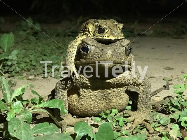Mating toads at night in Thailand