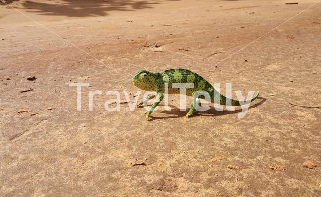 Chameleon on a road in Guinea-Bissau