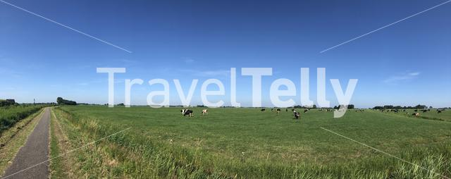 Cows in the meadow panorama around Jannum in Friesland, The Netherlands