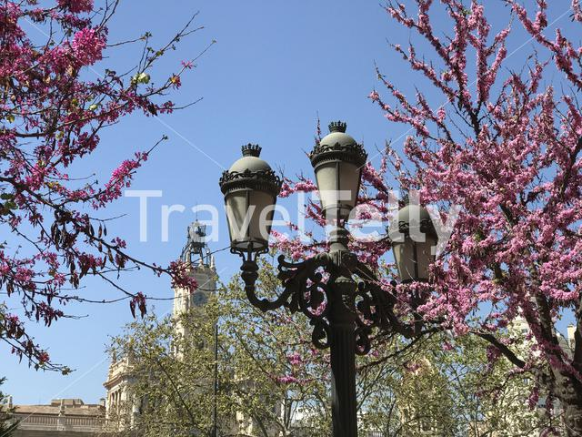 Tree in blossom downtown Valencia Spain