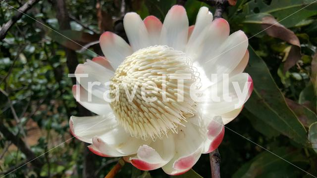 Big flower in the forest of Cameroon