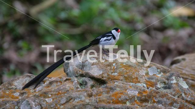 Pin-tailed whydah on a rock