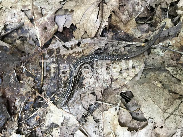 Sand lizard in the forest