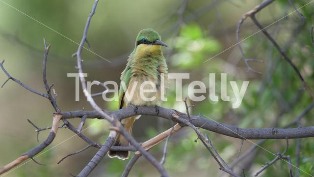 Swallow-tailed bee-eater on a tree branch