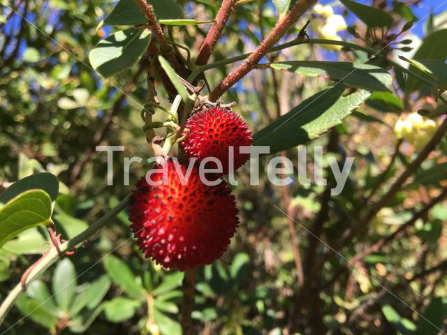 Strawberry fruit in a tree in Greece