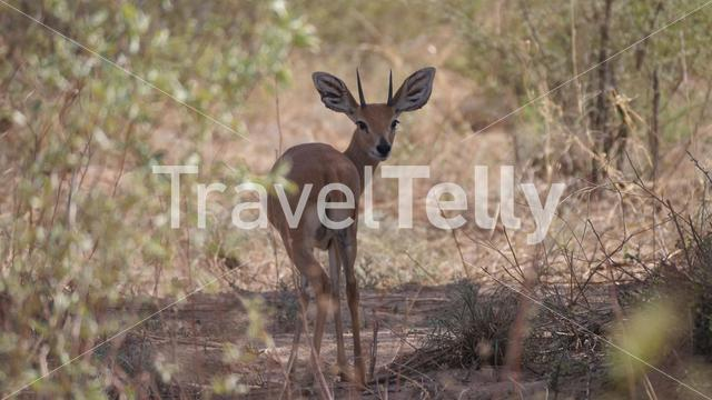 Steenbok looking backwards at Naye-Naye Concession Area in Namibia