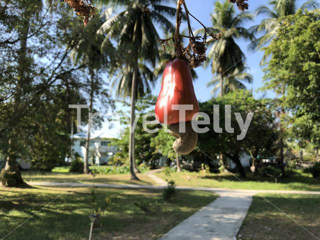 Cashewnut on a tree at Koh Mook island in Thailand