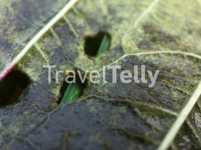 Holes in a leaf during autumn in The Netherlands