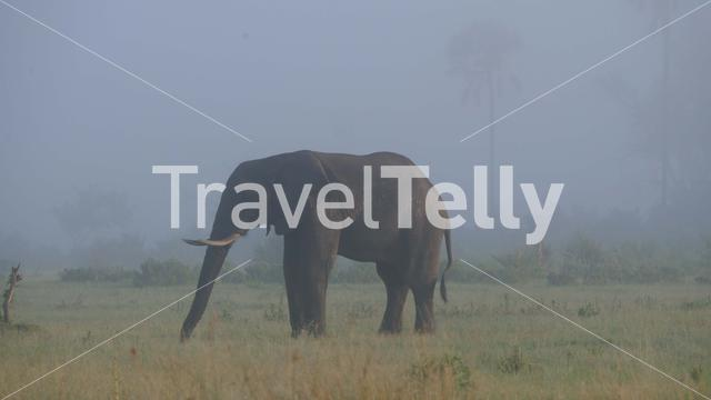 elephant grazing on a misty savannah