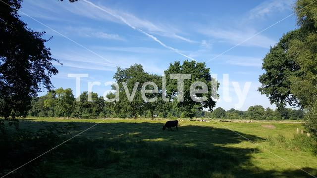 Meadow landscape with cows in The Netherlands