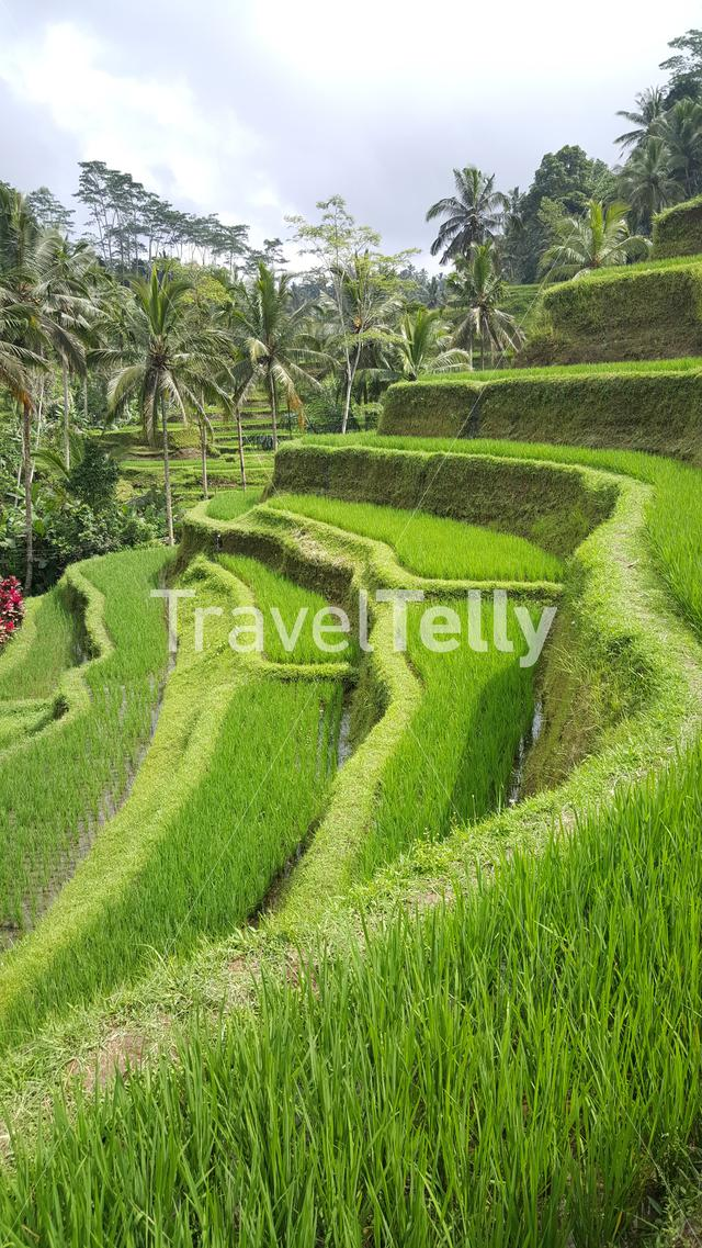Rice terrace in Bali Indonesia