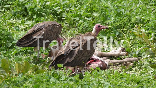 Hooded Vultures eating from a carcass in The Gambia, Africa