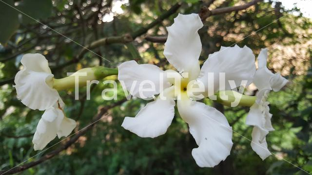 Beautiful flower around the Black Rocks at Pungo Andongo (Pedras Negras de Pungo Andongo) in Angola