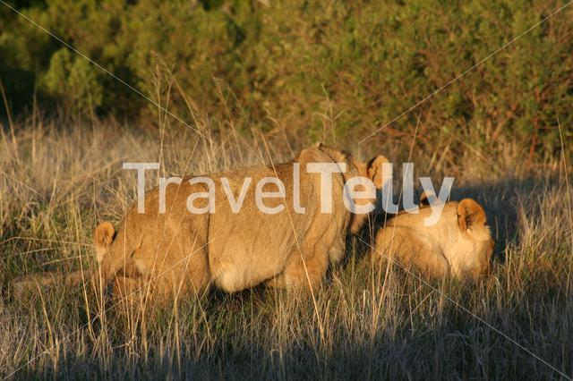 Female and male lion in grassfield South Africa