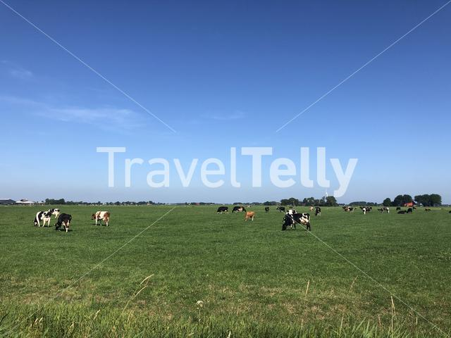 Cows in the meadow around Jannum in Friesland, The Netherlands