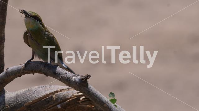 Bee-eater eating a inscet on a tree branch