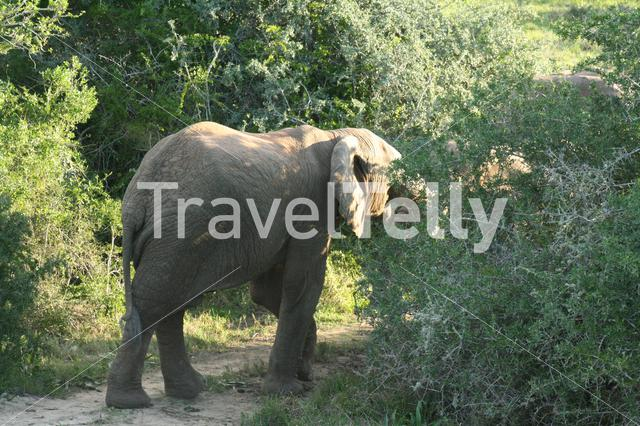 Elephant eating from a tree on the savanna in South Africa