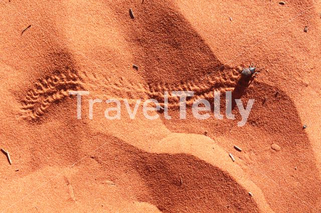 Beetle in the red sand of Australia