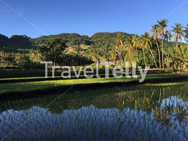 Rice field with mountain and palmtrees reflection in Anda Bohol the Philippines