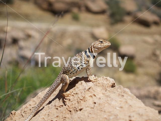 Common collared lizard on a rock