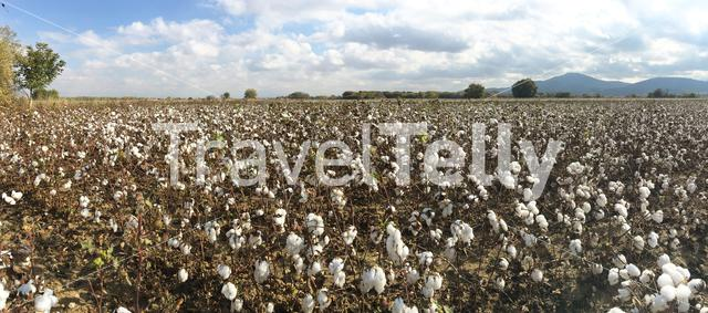 Cotton flower field in Greece