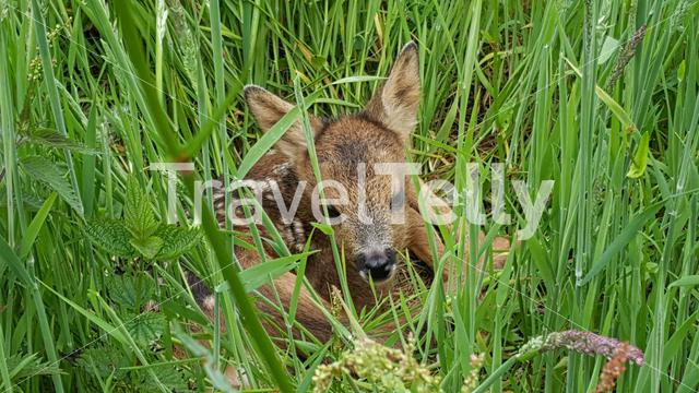 Baby deer laying the grass