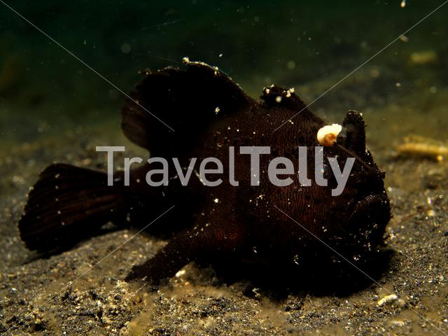 Black frogfish in Lembeh Sulawesi Indonesia