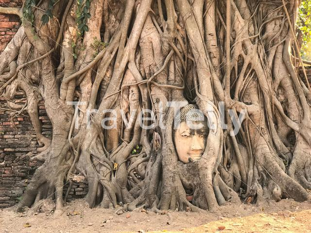 Buddha head in tree roots at the Wat Mahathat a Buddhist temple in Ayutthaya, Thailand