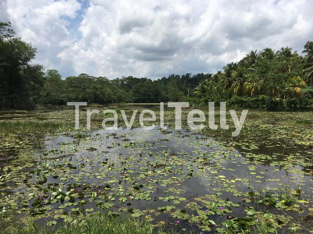 A lake with Blue lotus flowers and the national flower of Sri Lanka